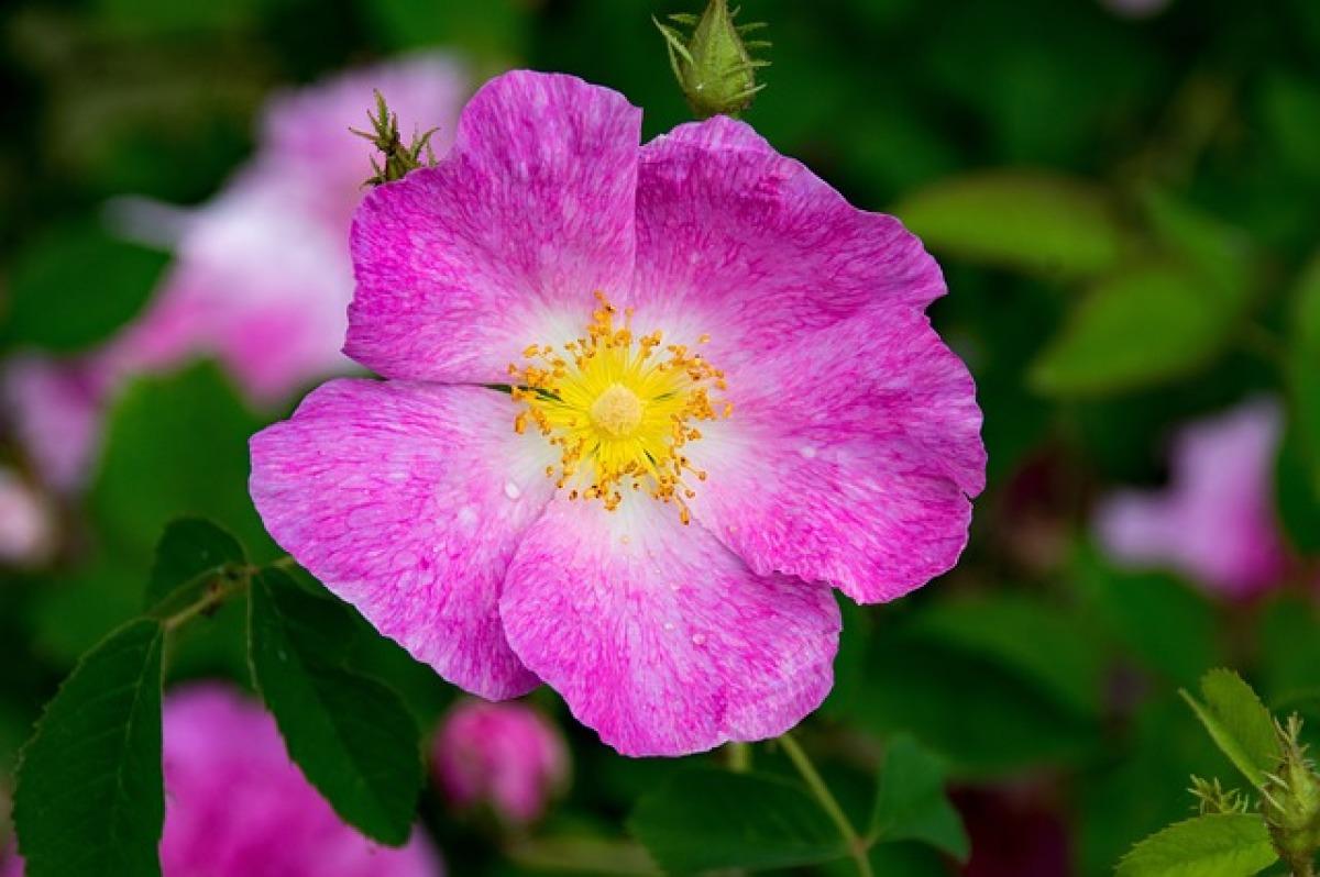 val tolosa - rosa gallica